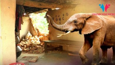 Photo of Odisha: Tusker Demolishes House, Elderly Woman Dies In Wall Collapse