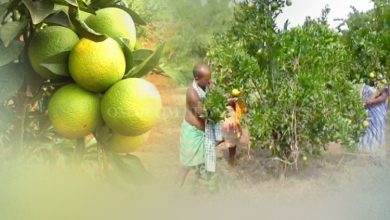 Photo of Odisha Farmer's Orange Also Bears Fruit Of Profit, At Par With Maharashtra's Nagpur