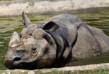 Photo of Another One-Horned Rhinoceros Dead In Nepal