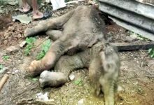 Photo of Elephant Calf Falls To Death In Ganjam Mud Puddle