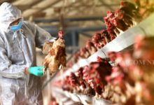 Photo of Bird Flu Outbreak Reported In 13 States So Far: Centre